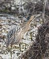Great Bittern (32697261725).jpg
