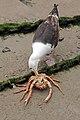 Great Black-backed Gull (7706046418).jpg