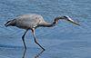 Great Blue Heron (Ardea herodias), hunting.jpg