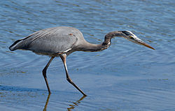Great Blue Heron (Ardea herodias), hunting.jpg
