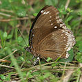 Great Eggfly- Hypolimnas bolina (female) laying eggs in Kolkata Iws IMG 0241.jpg