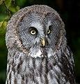Great Grey Owl 1 (6021921369).jpg