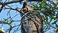 Great Horned Owl (8436596646).jpg