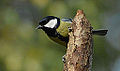 Great Tit, on log (10463669474).jpg