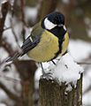 Great Tit in the Snow (5333869984).jpg