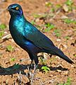 Greater Blue-eared Starling (Lamprotornis chalybaeus) (33235754262).jpg