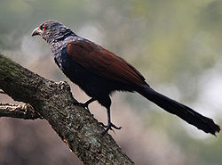 Greater Coucal (Centropus sinensis) at Narendrapur W IMG 4158.jpg