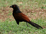 Greater Coucal (Centropus sinensis) in Hyderabad W IMG 8957.jpg