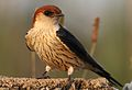 Greater Striped Swallow, Hirundo cucullata (syn. Cecropis cucullata), at Marievale Nature Reserve, Gauteng, South Africa (30506289005).jpg