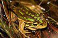 Green&Golden Bell Frog (Litoria aurea) (8397051031).jpg