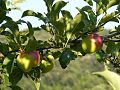 Green-Apples 102675-480x360 (4900265978).jpg