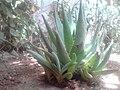 Green Aloe Vera.jpg
