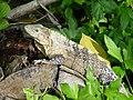 Green Iguana (54861530).jpeg
