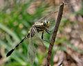 Green Marsh Hawk (Orthetrum sabina) W IMG 3451.jpg
