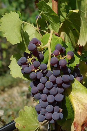 Grenache - Grenache noir grapes