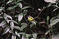 Grey-headed canary-flycatcher at Nagarjun Forest Reserve Area.jpg