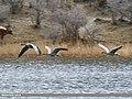 Greylag Goose (Anser anser) (34722767665).jpg