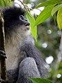 Grizzled leaf monkey (Surili).jpg