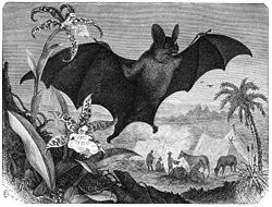 Dessin de 1886 d'une chauve-souris spectre