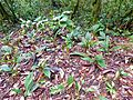Ground Orchids (Plocoglottis acuminata) (8090063577).jpg