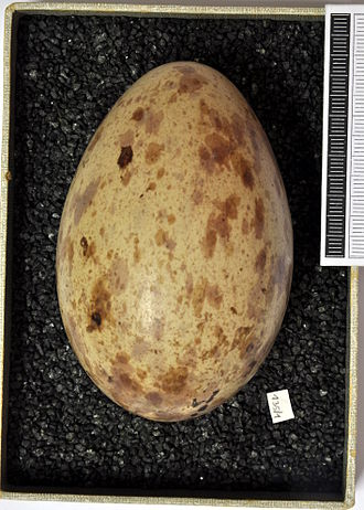 Common crane - Egg, Collection Museum Wiesbaden, Germany