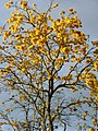 Guayacán amarillo (Tabebuia chrysantha) (14279122515).jpg