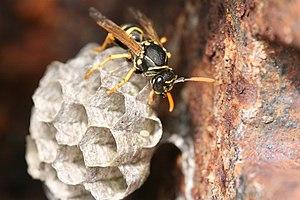 Une guêpe (wasp) sur son nid
