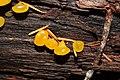 Guepiniopsis alpina 5834.JPG
