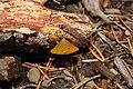Guepiniopsis alpina 5850.JPG