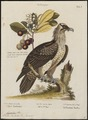 Gypaëtus barbatus - 1700-1880 - Print - Iconographia Zoologica - Special Collections University of Amsterdam - UBA01 IZ18100009.tif
