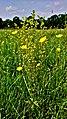 Hässeler Weiher von Neuenhaßlau - Gelbe Blume auf der Wiese.jpg