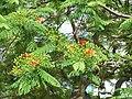HK Central 中環 Edinburgh Place tree green leaves red flowers May-2012.JPG