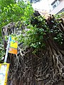 HK Mid-Levels 般咸道 Bonham Road trees 7-Aug-2015 DSC (8).jpg