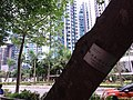 HK TKO 將軍澳 Tseung Kwan O 唐俊街 Tong Chun Street tree trunk May 2019 SSG 05.jpg