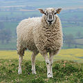 Hambledon Hill Sheep.jpg