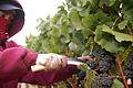 Hand harvesting wine grape.jpg