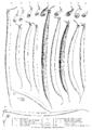 Haricot, gousses de 11 variétés Vilmorin-Andrieux 1904.png
