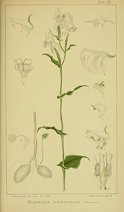 Harry Bolus - Orchids of South Africa - volume III plate 092 (1913).jpg