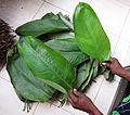 Haumania liebrechtsiana - fresh leaves.jpg