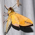 Hawkmoth (Eumorpha phorbas) (25398324618).jpg