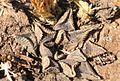 Haworthia koelmaniorum var. Mcmurtryi.jpg