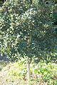 Heberdenia excelsa - Jardín Botánico de Barcelona - Barcelona, Spain - DSC09175.JPG
