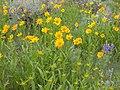 Helianthella uniflora (3646971062).jpg