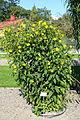 Helianthus tuberosus - Bergianska trädgården - Stockholm, Sweden - DSC00155.JPG