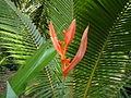 Heliconia flower in front of juvenile coconut palm (Amboli jungle).jpg