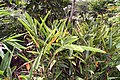 Heliconia psittacorum 22zz.jpg