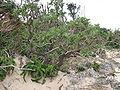 Heliotropium foertherianum Diane et Hilger.jpg
