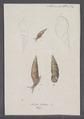 Helix bidens - - Print - Iconographia Zoologica - Special Collections University of Amsterdam - UBAINV0274 089 01 0093.tif