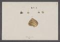 Helix fulva - - Print - Iconographia Zoologica - Special Collections University of Amsterdam - UBAINV0274 089 01 0047.tif