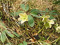 Helleborus niger1.JPG